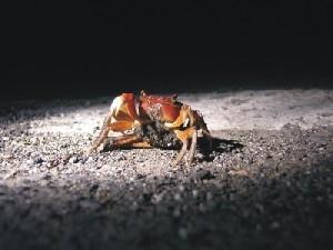 護送螃蟹過馬路